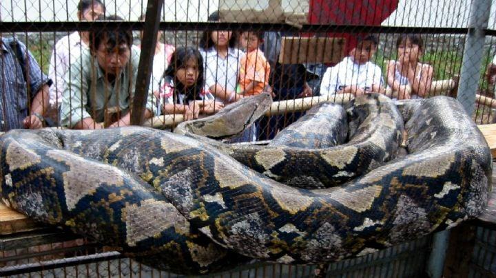 ¡Alerta en Japón! Autoridades buscan a una serpiente pitón de 3 metros; era una mascota