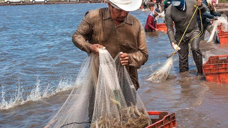 Acuacultura de Sonora seguirá exportando camarón a Estados Unidos