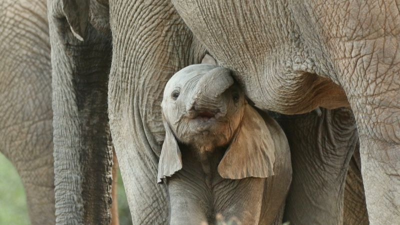 VIDEO: Guardabosques reúne a un bebé elefante con su manada; Twitter enloquece de ternura