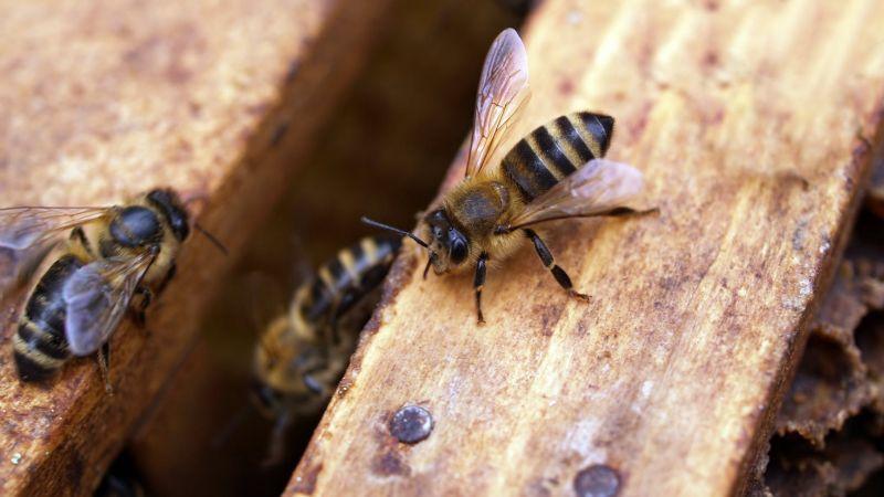 Siempre acompañada: Mujer vive con más de cien mil abejas en la sala de su casa ¡Otra vez!