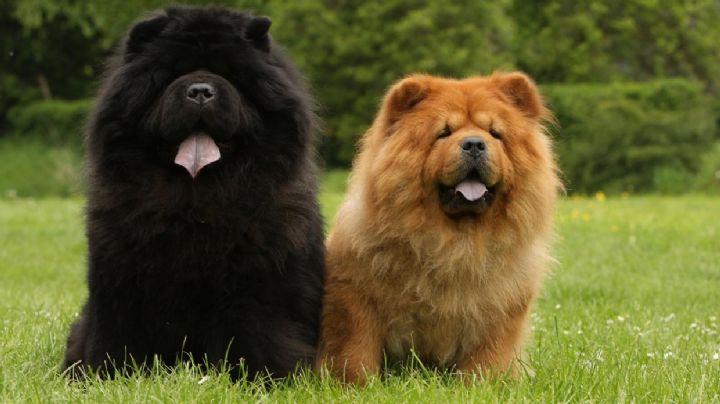 ¿Adoptaste un perro chow chow? Conoce algunos de sus cuidados especiales