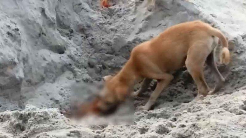 ¡De no creerse! Perros callejeros devoran cadáveres de víctimas fallecidas por Covid-19