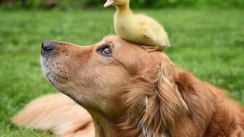 VIDEO: Un Golden Retriever enamora a todo Internet al adoptar a un pato bebé