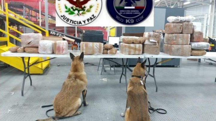 Binomios caninos ayudan a localizar 112 kilos de metanfetamina en una paquetería de Tijuana