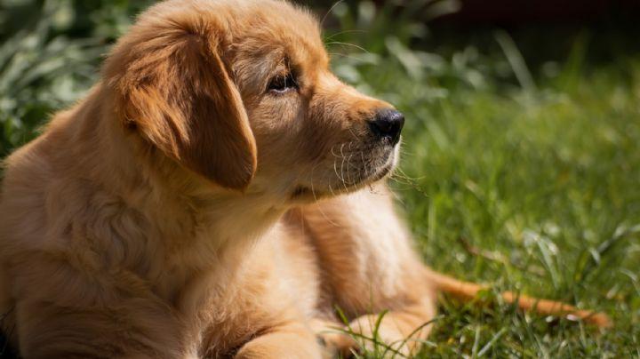 VIDEO: ¡Amor canino! Un Golden Retriever rescata a una marmota y enamora a Internet