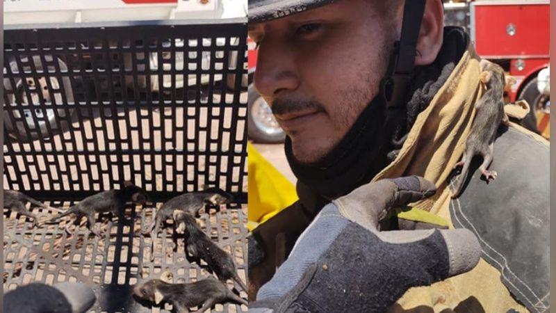 Bomberos resguardan cría tlacuache mexicano en el Puerto de Guaymas
