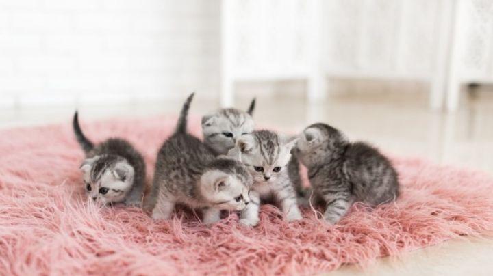 ¿Adoptaste un gato recién nacido? Así es la forma correcta en la que debes alimentarlo