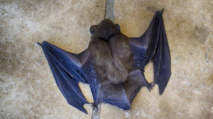 No se rinde: China halla nuevos coronavirus en diferentes tipos de murciélagos