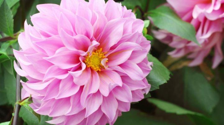 Déjate asombrar por los beneficios que las flores de Dalia le darán a tu salud