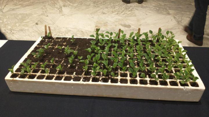 Guar llega como una opción rentable para las siembras de verano en Sonora