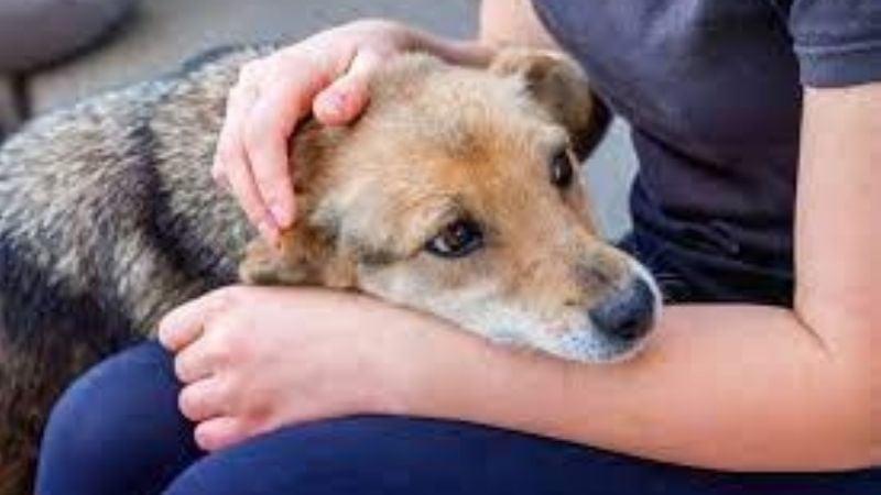 Conoce la brucelosis, la terrible enfermedad que tu perro puede contagiarte