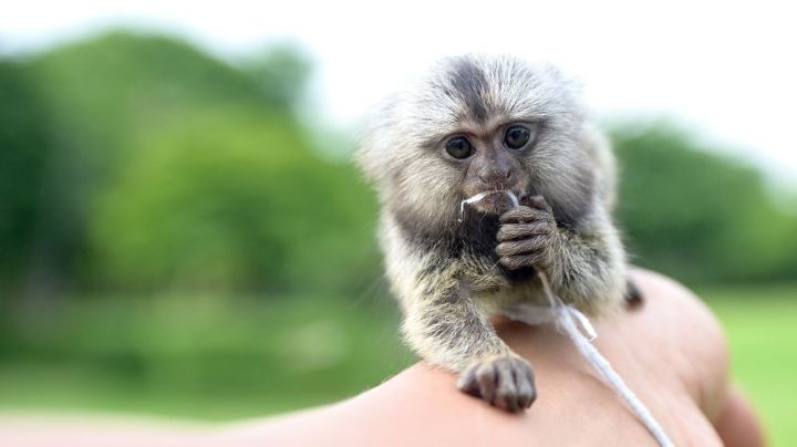 Crueldad animal: Dejan morir a un simio bebé en su auto mientras van a un parque acuático