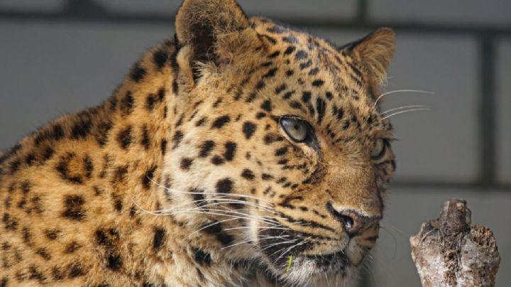 Leopardo despedaza el cuerpo de una niña en un cumpleaños de la India; tenía 4 años