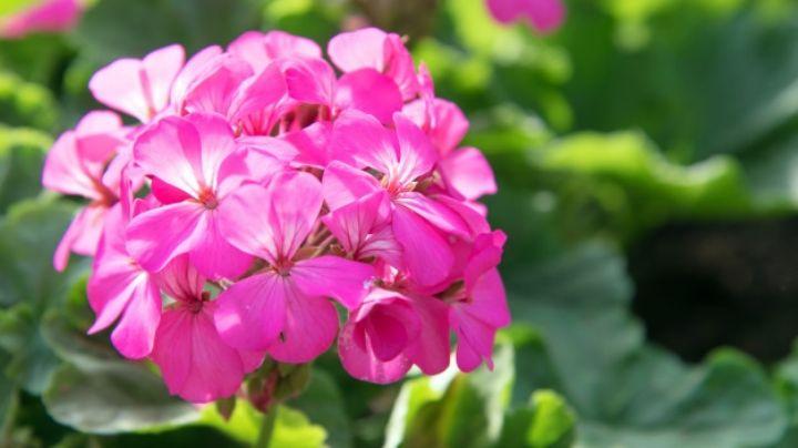 Sorpréndete con el poder de la naturales gracias a los usos de las flores de geranio