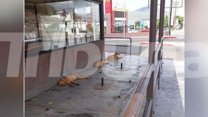 Denuncian un incremento de la presencia de perros de la calle en Guaymas
