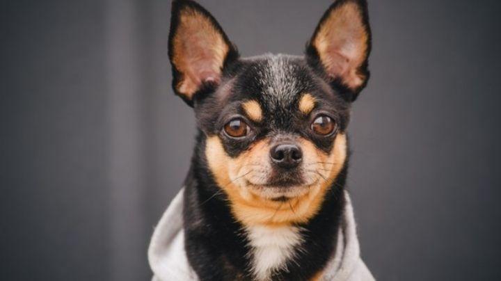 Perros chihuahua y más: Conoce las razas de estas mascotas con origen mexicano