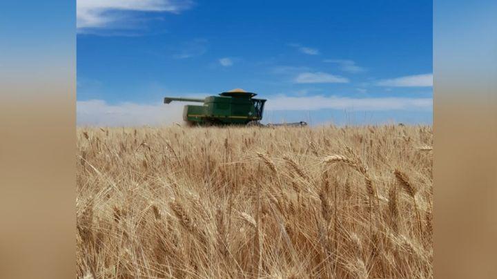 La cosecha de trigo del valle del mayo reporta buenos resultados