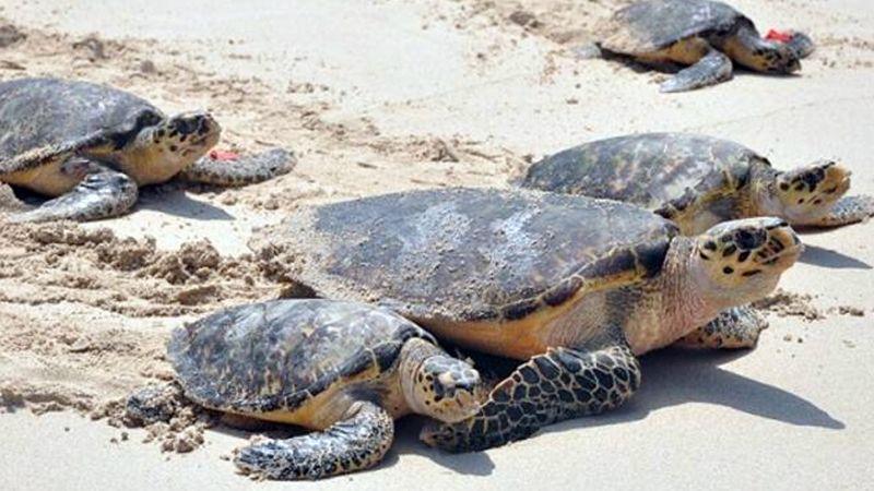 Inicia temporada de desove de tortuga marina y llegan a las playas de San Carlos
