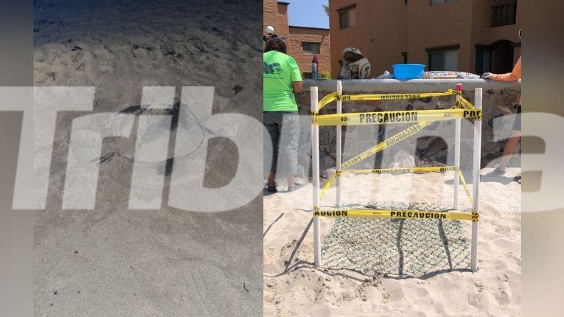 Desoves de tortugas en puerto de Guaymas están en riesgo por venta ilícita y daños