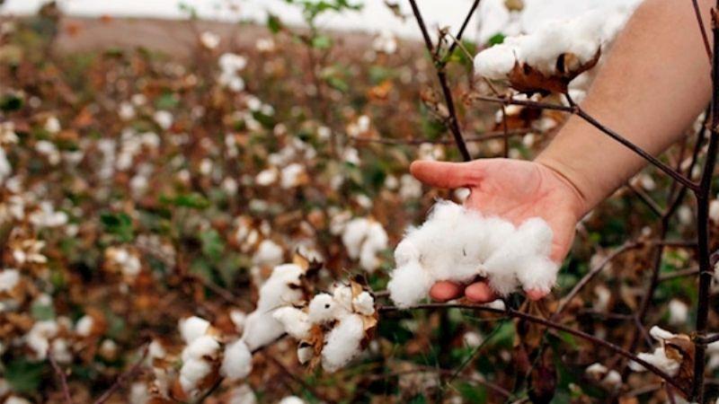 Sader declara a Sonora libre de plagas en el cultivo de algodón