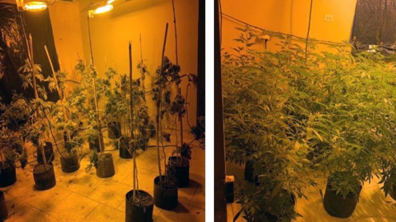 Golpe al narco: Catean vivienda y dan con plantío de marihuana en Magdalena de Kino