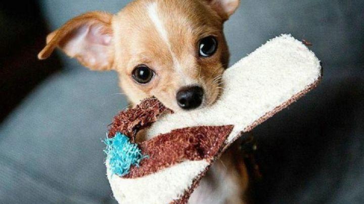 ¿Adoptaste a un perro Chihuahua? Entonces presta atención a estos fantásticos nombres
