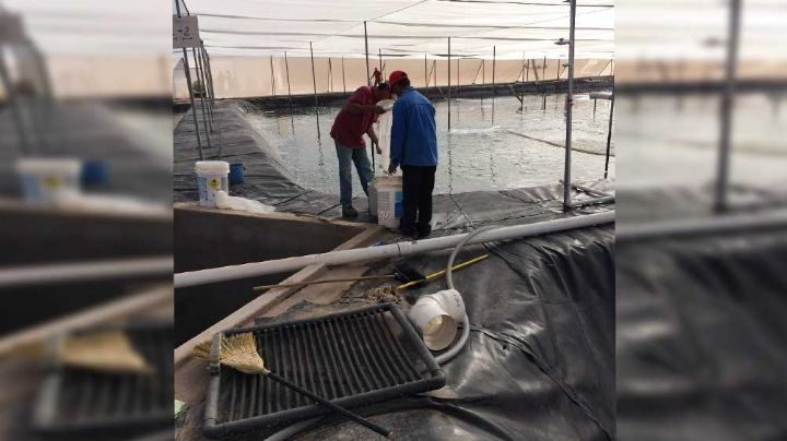 Comienza la cosecha de camarón para los productores de acuacultura en Sonora