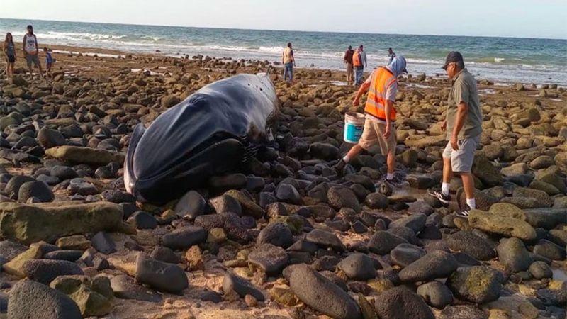 (FUERTE VIDEO) Luto en Sonora: Tras ser rescatada, aparece ballena en Puerto Peñasco sin vida