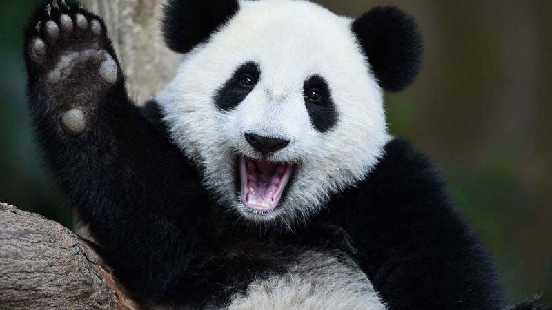 ¡Buena noticia! China logra salvar de la extinción al panda gigante