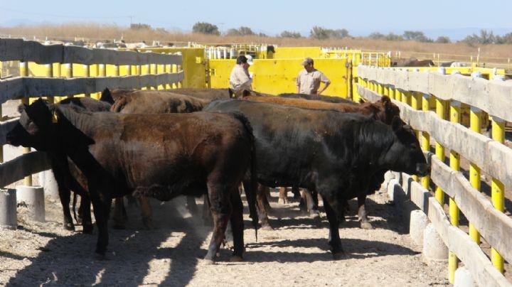 Sonora en el podio; segundo lugar en exportación de ganado en pie a Estados Unidos