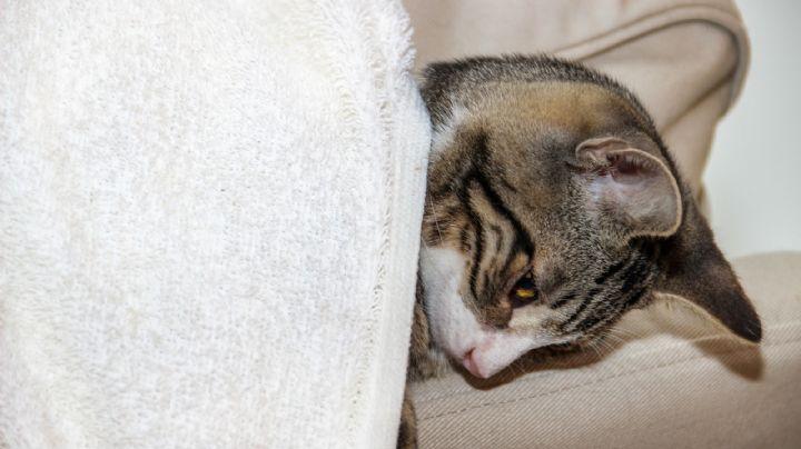 ¿Tu gato está enfermo? Ten cuidado; podría estar estresado por pasar mucho tiempo contigo
