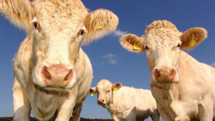 ¡Alerta sanitaria en Brasil! Confirman dos casos de una enfermedad atípica en la carne de res