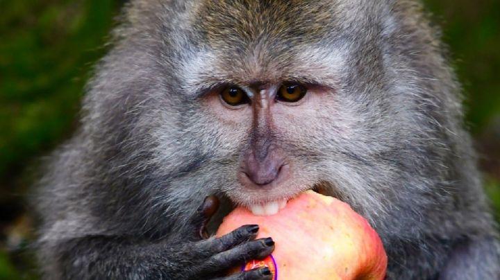 VIDEO: ¿Hambrientos o aburridos? Por la pandemia, un grupo de monos asaltan a un pueblo